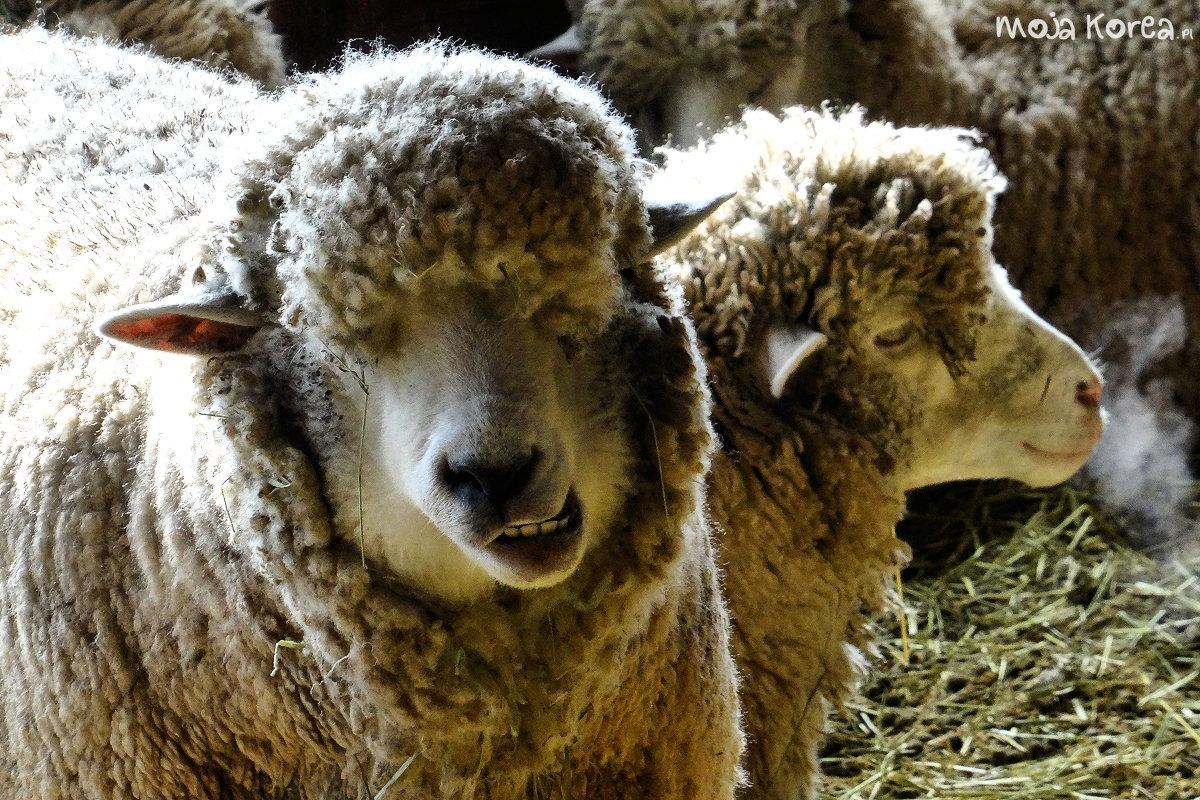 Daegwallyeong Sheep Farm, farma owiec, Viator Polonicus Moja Korea Joanna Maria Czupryna